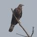 Abejero Oriental - Photo (c) S.MORE, algunos derechos reservados (CC BY-NC)
