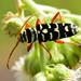 Megacyllene asteca - Photo (c) Ricardo Arredondo T., algunos derechos reservados (CC BY-NC)