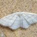 Idaea subsericeata - Photo (c) Ben Sale, algunos derechos reservados (CC BY)