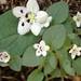Phacelia dalesiana - Photo Unknown, sin restricciones conocidas de derechos (dominio público)