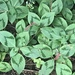 Persicaria filiformis - Photo (c) Peter Wilson,  זכויות יוצרים חלקיות (CC BY-NC)