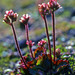 Ottertail Pass Saxifrage - Photo (c) Sune Holt, some rights reserved (CC BY-NC)