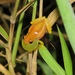 Mathiasson's Tree Frog - Photo (c) Carlos Alfonso, some rights reserved (CC BY-NC)