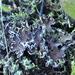 Peltigera extenuata - Photo (c) Andrew Simon,  זכויות יוצרים חלקיות (CC BY-NC)