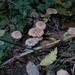 Collybiopsis peronata - Photo (c) kathawk, algunos derechos reservados (CC BY-NC)