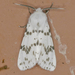 Fall Webworm Moth - Photo (c) Monica Krancevic, some rights reserved (CC BY-NC)