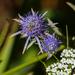 Eryngium integrifolium - Photo (c) Cullen Hanks, μερικά δικαιώματα διατηρούνται (CC BY-NC)