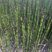 Horsetails - Photo (c) Brian Starzomski, some rights reserved (CC BY-NC)