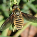 Bright Beefly - Photo (c) Sam Kieschnick, some rights reserved (CC BY)