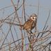 Amytornis barbatus - Photo (c) Ron Knight, algunos derechos reservados (CC BY)