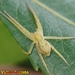 Crab and Running Crab Spiders - Photo (c) Valter Jacinto, some rights reserved (CC BY-NC-SA)