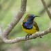 Olive-backed Sunbird - Photo (c) budak, some rights reserved (CC BY-NC)