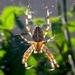 Aranhas Orbitelares - Photo (c) Olivier, alguns direitos reservados (CC BY)