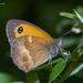 Pyronia tithonus - Photo (c) Marcello Consolo, μερικά δικαιώματα διατηρούνται (CC BY-NC-SA)