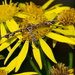 Amblyptilia punctidactyla - Photo (c) Allan Hopkins, algunos derechos reservados (CC BY-NC-ND)
