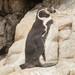 Pingüino de Humboldt - Photo (c) Paul Fenwick, algunos derechos reservados (CC BY-NC)