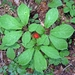 American Ginseng - Photo (c) Lori Owenby, some rights reserved (CC BY-NC)