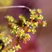 Lannea edulis - Photo (c) tjeerd, μερικά δικαιώματα διατηρούνται (CC BY-NC)