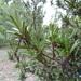 Podocarpus elatus - Photo (c) Jean Philippe BASUYAUX, osa oikeuksista pidätetään (CC BY-NC)