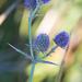 Eryngium articulatum - Photo (c) Ken-ichi Ueda, algunos derechos reservados (CC BY)