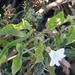 Calystegia sepium limnophila - Photo (c) Ken-ichi Ueda, algunos derechos reservados (CC BY)