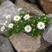 Nipponanthemum nipponicum - Photo (c) Aimee Lusty, alguns direitos reservados (CC BY-NC)