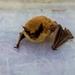 Rhogeessa gracilis - Photo (c) Luis Soto,  זכויות יוצרים חלקיות (CC BY-NC)