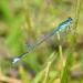 Coletilla Azul - Photo (c) olegglushenkov, algunos derechos reservados (CC BY-NC)