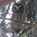 Mainland Northern Saw-whet Owl - Photo (c) Sean Cozart, some rights reserved (CC BY-NC)