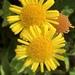Pulicaria dysenterica - Photo no hay derechos reservados