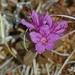 Lapinalppiruusu - Photo (c) Don Henise, osa oikeuksista pidätetään (CC BY)