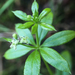 Fragrant Bedstraw - Photo (c) Jason Headley, some rights reserved (CC BY-NC)