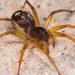 Arañas Imitadoras de Hormigas - Photo (c) Farhan Bokhari, algunos derechos reservados (CC BY-NC-ND)