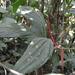 Anthurium madisonianum - Photo (c) Letizia Weichgrebe, algunos derechos reservados (CC BY-NC)