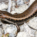 Sphenomorphine Skinks - Photo (c) ronigreer, some rights reserved (CC BY-NC)