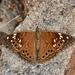 Mariposa Emperatriz de Manchas Negras - Photo (c) lonnyholmes, algunos derechos reservados (CC BY-NC)