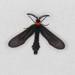 Grapeleaf Skeletonizer Moth - Photo (c) Ann Gordon, some rights reserved (CC BY-NC)