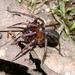 Arañas de Agua - Photo (c) Steve Lew, algunos derechos reservados (CC BY-NC-SA)