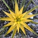 Ficinia radiata - Photo (c) Jenny, μερικά δικαιώματα διατηρούνται (CC BY-NC)