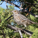 Sage Thrasher - Photo (c) Greg Lasley, some rights reserved (CC BY-NC)