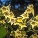 Pandorea floribunda - Photo (c) Nicholas John Fisher, osa oikeuksista pidätetään (CC BY-NC)