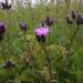 Serratula tinctoria - Photo (c) Frank Vassen, algunos derechos reservados (CC BY)