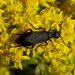 Black Blister Beetle - Photo (c) John B., some rights reserved (CC BY)