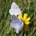 Icaricia icarioides - Photo (c) James Bailey, algunos derechos reservados (CC BY-NC)