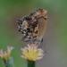 Strymon crambusa - Photo (c) fydnar, algunos derechos reservados (CC BY-NC)