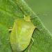 Πράσινη Βρομούσα - Photo (c) Juan Emilio, μερικά δικαιώματα διατηρούνται (CC BY-SA)
