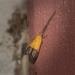 Crocanthes micradelpha - Photo (c) Nicholas John Fisher, μερικά δικαιώματα διατηρούνται (CC BY-NC)