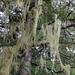 Methuselah's Beard Lichen - Photo (c) Lada Malek, some rights reserved (CC BY-NC)