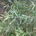 Salix caspica - Photo (c) mallaliev, algunos derechos reservados (CC BY-NC)