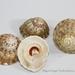 Astraea olivacea - Photo (c) conabio_bancodeimagenes, alguns direitos reservados (CC BY-NC-ND)
